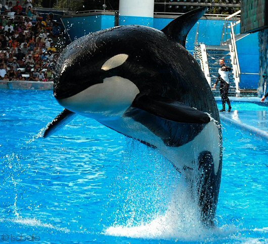 Orca whales should be swimming in the ocean, not a fish tank