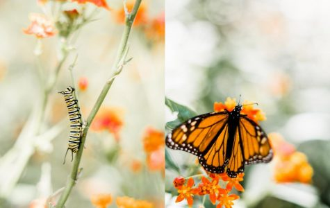 The caterpillar/the butterfly—the complete story