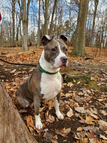 The stigma against pit bulls is unfounded