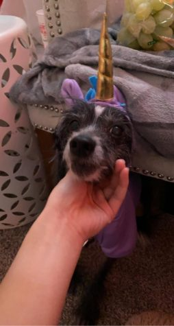 My dog Tia wearing a unicorn costume.