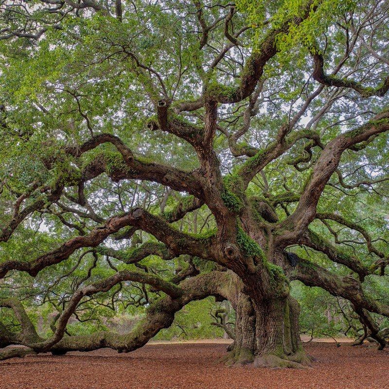 Angel Oak Tree near Charleston, SC