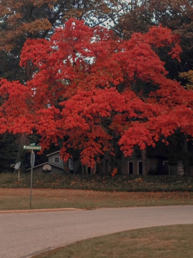 This+is+a+tree+that+stands+in+my+front+yard.+Simply+gazing+at+the+vivacious+hues+of+red+brings+a+wave+of+tranquility+over+me.
