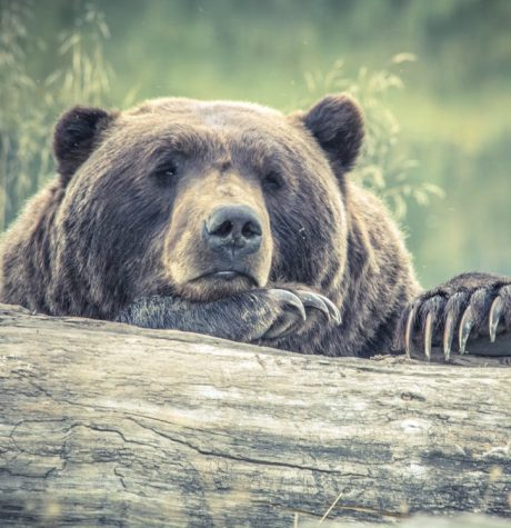 This bear is saddened by all of the animals he sees affected by humans feeding them