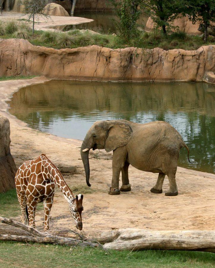 An+elephant+and+a+giraffe+peacefully+roaming+in+their+zoo+habitat.+